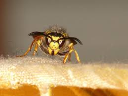 Een wespennest verwijderen Breda en omstreken